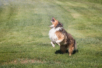 Dog playing in sprinkler