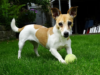puppy playing with tennis ball