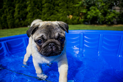 Puppy in swimming tub