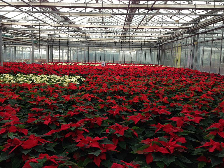 red plants in a greenhouse