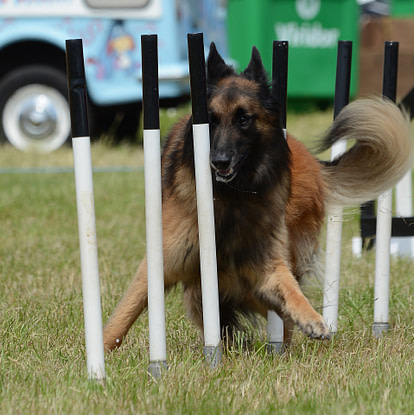 Dog playing with poles