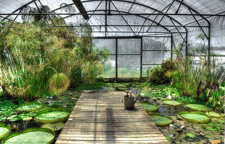 Lotus in greenhouse