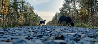 Dogs on gravel